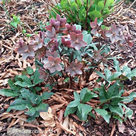 hellebores when to plant helleborus perennial how to grow hellebores lenten rose