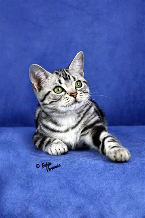 american shorthair pictures pics images