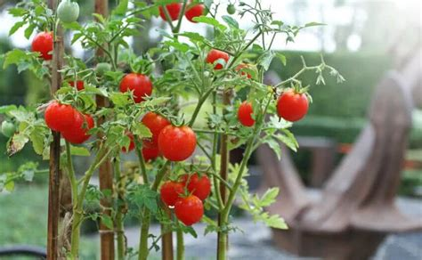 Yellowing of leaves on tomato plants can be caused by plenty of factors, most of them treatable. Cherry Tomato Plant Yellow Leaves | Cromalinsupport