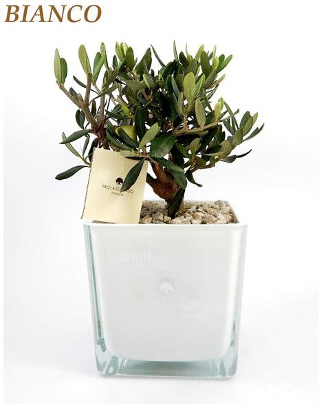vaso per pianta bomboniera pianta di ulivo con vaso quadrato vetro