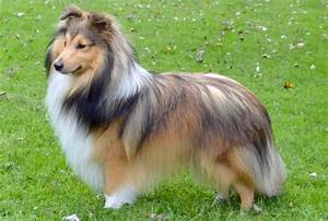 Dog Years Chart Shetland Sheepdog Breed Description History And Overview