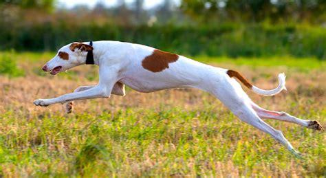 ibizan hounds petful