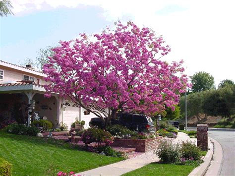 pink trumpet tree care the green scene award winning landscape design and construction plant selection t z