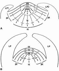 Diagrams Of The Cytohistological Zonation Organization Of