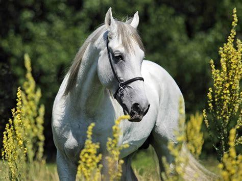 horse andalusian breeds expensive stallion portrait 2k 55k shutterstock horsemen portfolio