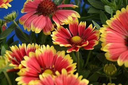 Gaillardia Sunset Snappy Flower Blanket Planthaven Plant