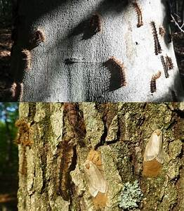 A Biological Surprise Attack Slows Gypsy Moth Invasion ...