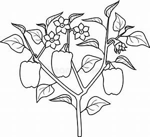 Coloring Page  Eggplant With Leaves  Fruit And Root System