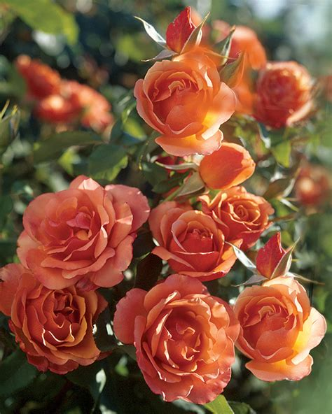 tips for planting roses tips for planting bareroot roses garden bulb blog flower bulbs gardening tips