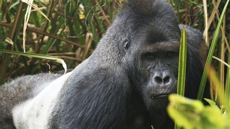 eastern gorillas   critically endangered youtube