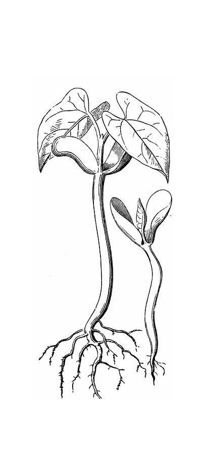 Seedling Clipart Etc