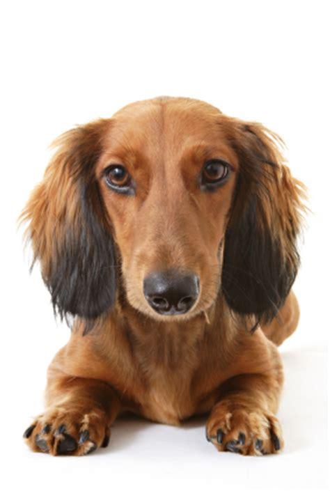 canker  dogs symptoms      rid