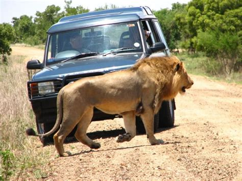 lion car kruger national park lion car jpg