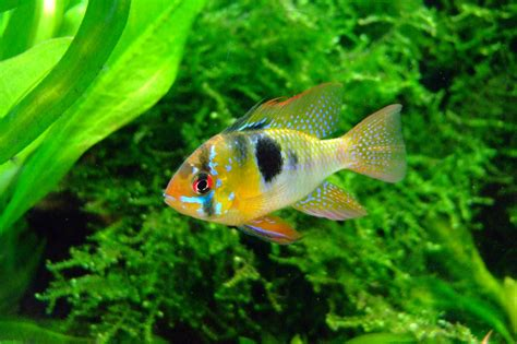 les poissons en aquaponie aquaponie