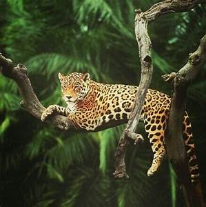 Amazon Rainforest Animals Black Jaguar