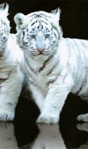 Free download Tiger Wallpapers HD Wallpapers Pictures ...