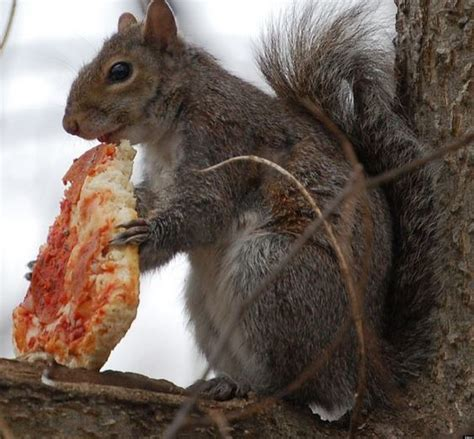 check out these squirrels eating pizza french fries and