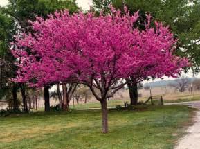 rosebud tree rosebud tree start to flower early in the spring