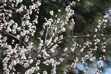 tree with white blossoms apricot tree flowers www pixshark com images galleries with a bite