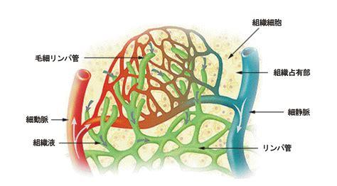 file illu lymph capillary ja png wikimedia commons