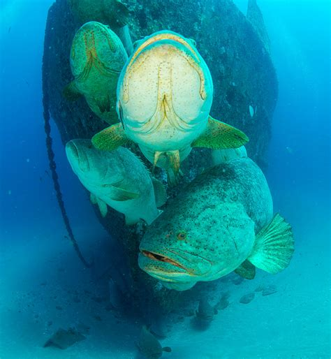 grouper goliath swimming super cecilia aggregation spawning hover ana bow annual near during