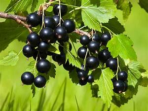 Schwarze Johannisbeere Pflanzen : schwarze johannisbeere 39 andega 39 ribes nigrum 39 andega ~ Lizthompson.info Haus und Dekorationen