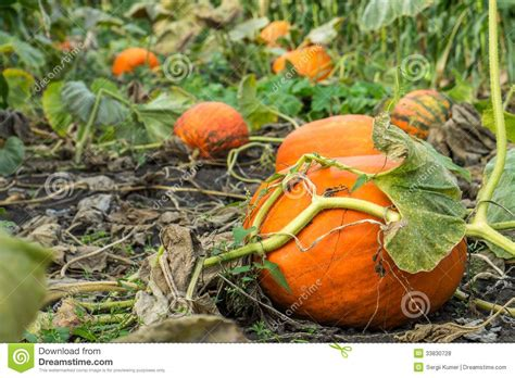 Orange Kürbis Im Garten Stockfoto Bild Von Nave