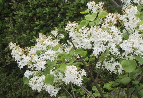 fragrant flowering bushes flowering shrubs with white flowers pictures to pin on pinterest pinsdaddy