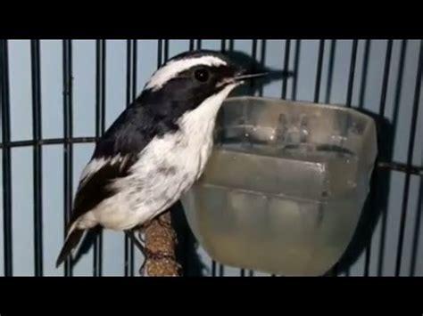 Decu Kembang Gacor Decu Kembang Kuning Yang Belang Memang Beda By Master Kicau Burung Sikatan Belang Decu Kembang