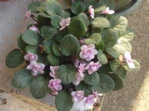 How to Care for an African Violet Plant