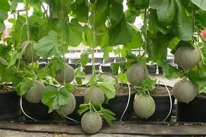 how to grow cantaloupe growing watermelon vertically www imgkid com the image kid has it
