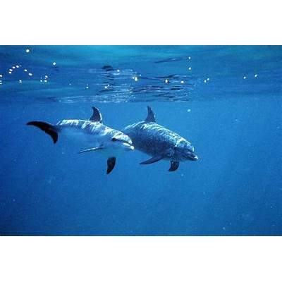 Baby Atlantic Spotted Dolphinwww.pixshark.com - Images