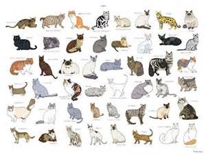 different cat breeds cat breeds poster 18x24
