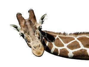 Giraffe PNG Free Download PNG Arts