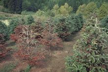 noble fir transplants o tree diseases affecting common tree species sunburst plant disease clinic