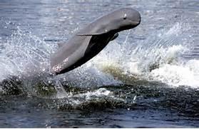 Irrawaddy Dolphin     ...Irrawaddy Dolphin