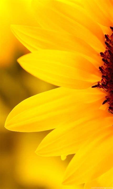 sunflower tumblr desktop wallpapers walopscom desktop background