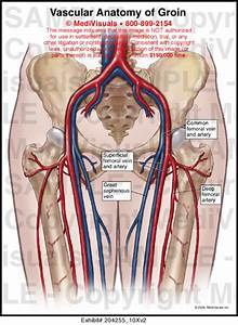 Vascular Anatomy Of Groin Medical Illustration Medivisuals