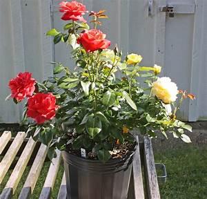 Bud Grafting Roses   The Rose Journal