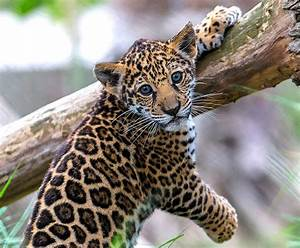 Jaguar | San Diego Zoo Kids  Jaguar