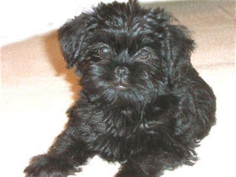 Affenpoo Affenpinscher Poodle Mix Info Puppies Temperament Pictures