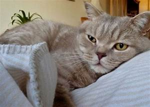 Lilac Tabby British Shorthair | Saxmundham, Suffolk ...