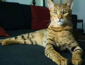 ashera cat ashera cat pictures hd pictures