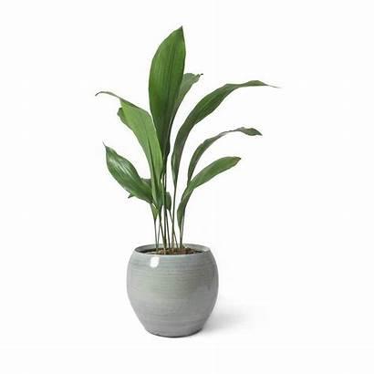 Plant Iron Cast Aspidistra Pot Cresta Ice
