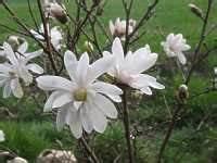 Magnolie Blüht Nicht : pflanzen magnolie pflege soulangeana magnolia stellata sieboldii ~ Buech-reservation.com Haus und Dekorationen