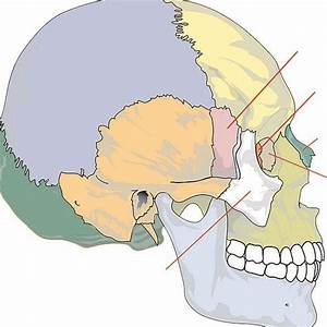 Unlabeled Skull Diagram