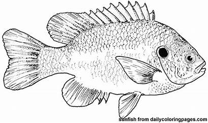 Coloring Sunfish Fish Pages Printable Bass Template