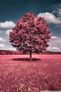 pink field  hd desktop wallpaper   ultra hd tv