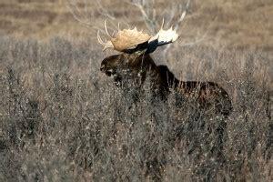 cases  brain worm  endangered mainland moose  nova