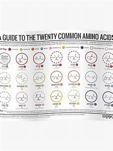 U0026 39 20 Amino Acids U0026 39  Poster By Compound Interest